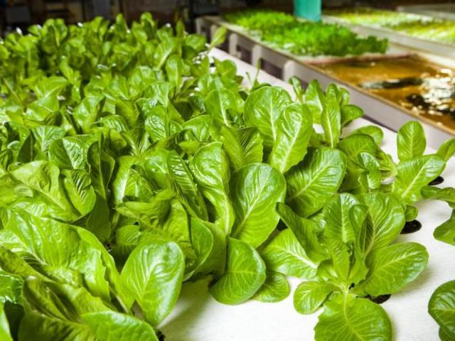 picture of aquaponics plants