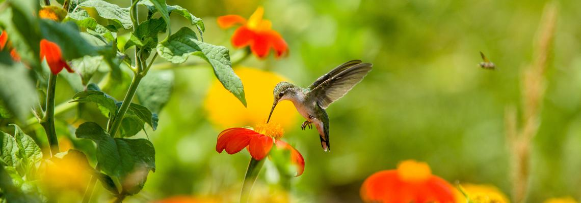 Hummingbird in garden